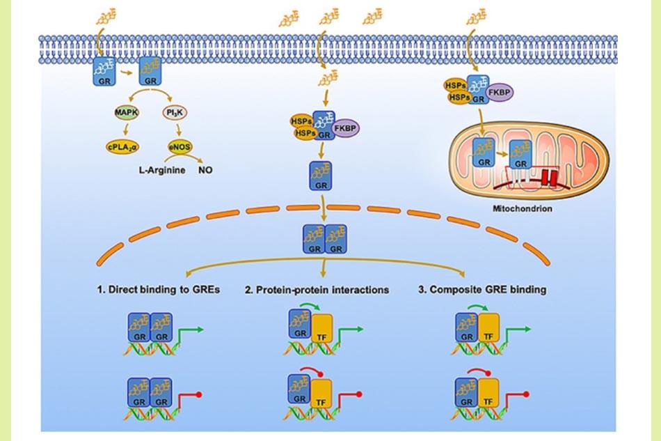 Hình ảnh: Con đường truyền tín hiệu của Glucocorticoid qua hệ gene và không qua hệ gene